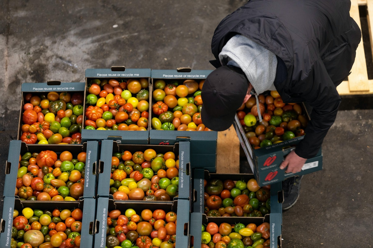 British Tomatoes Being Lifted