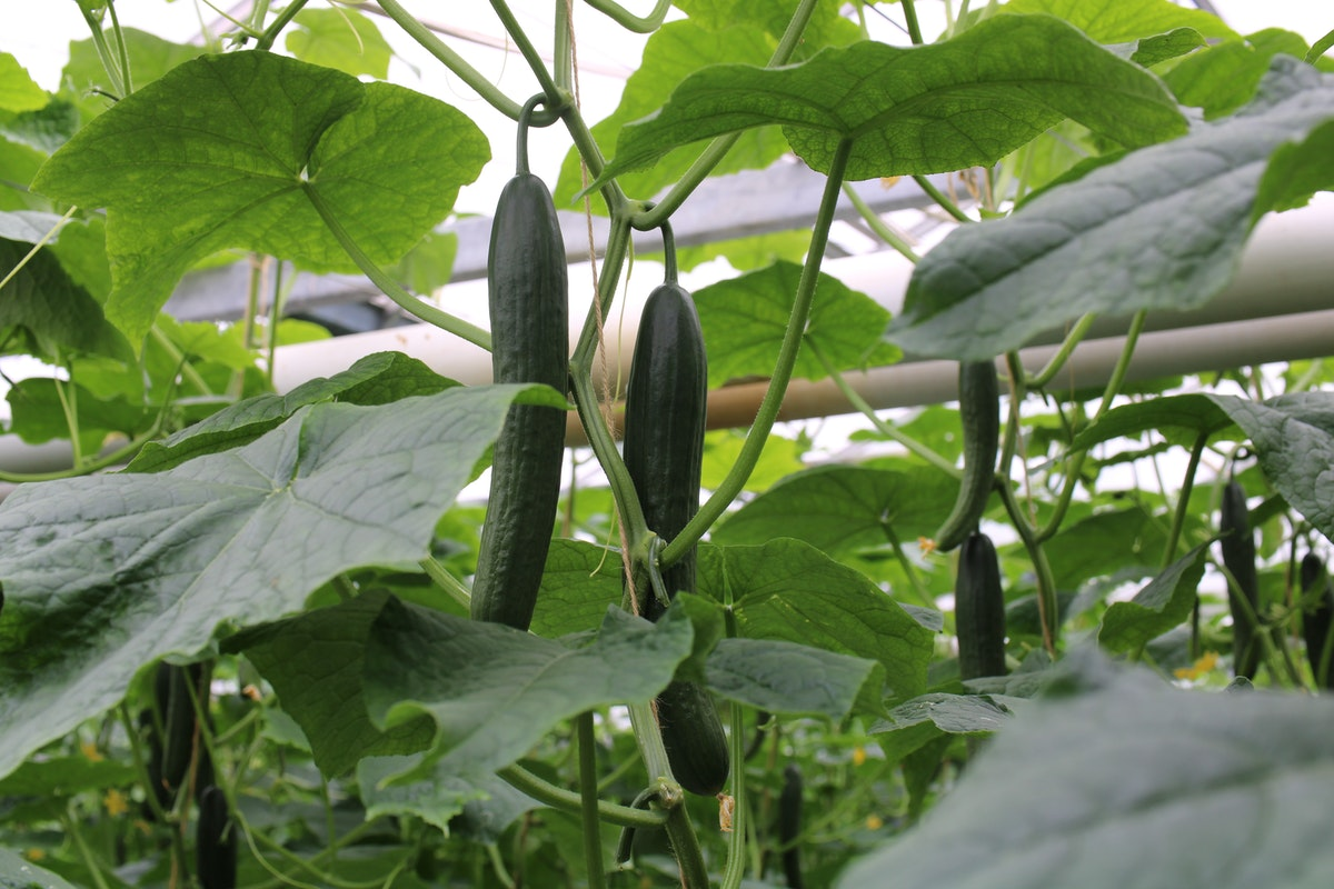 Caffarelli Cucumbers 30 06 2020 12 26 09