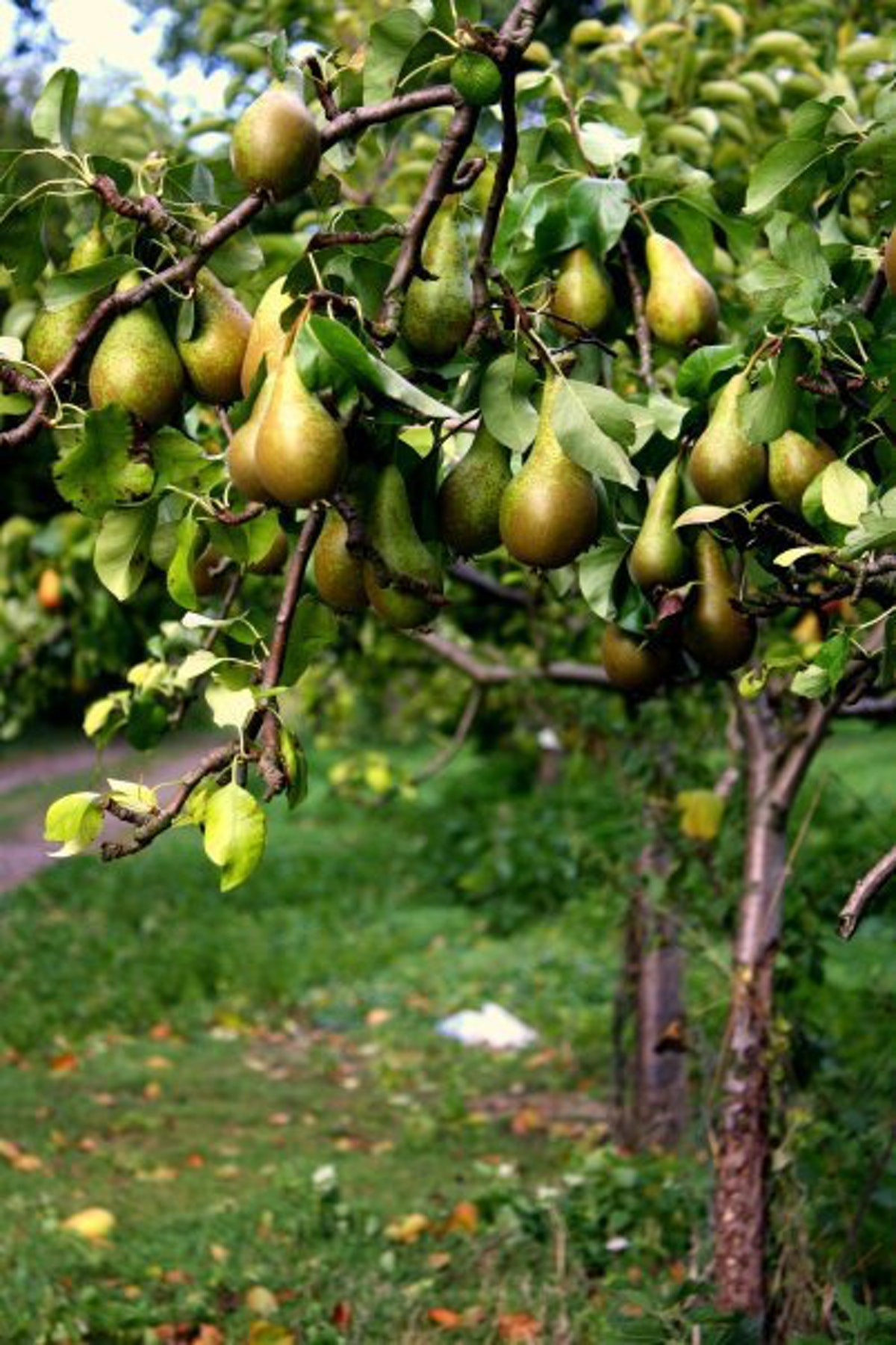 Cam Valley Pears