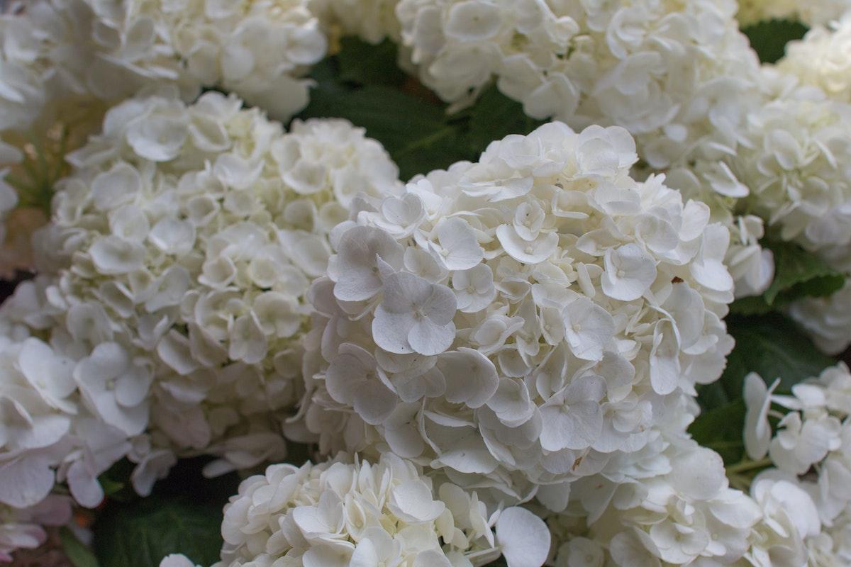 New Covent Garden Flower Market August 2016 Market Report Flowerona Hr A 26