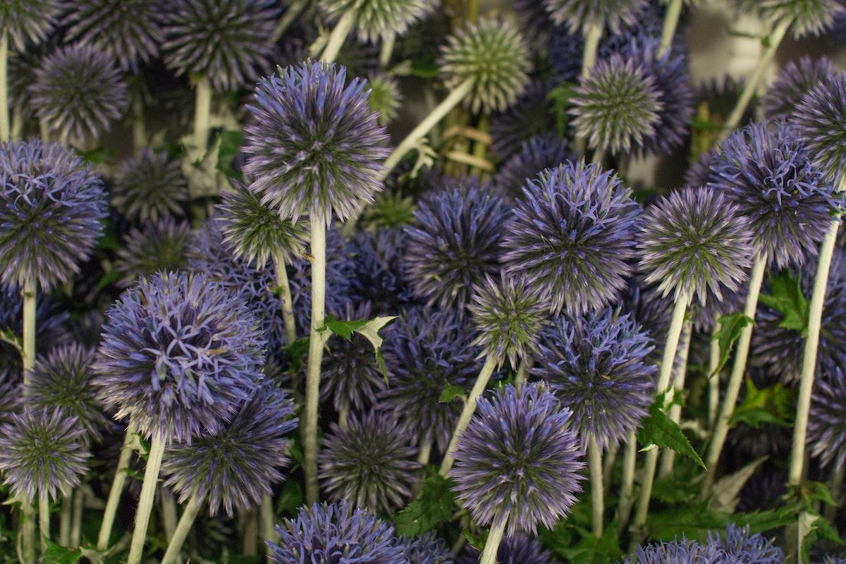 New Covent Garden Flower Market August 2016 Market Report Flowerona Hr A 4