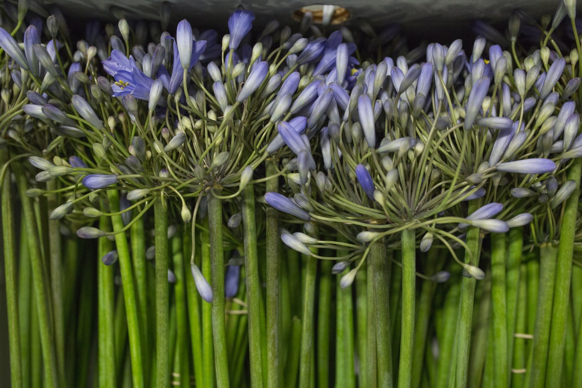 New Covent Garden Flower Market August 2017 Flower Market Report Rona Wheeldon Flowerona British Agapanthus At Pratley 5