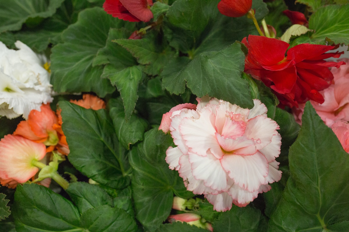 New Covent Garden Flower Market August 2017 Flower Market Report Rona Wheeldon Flowerona British Begonia Plants At L Mills 24