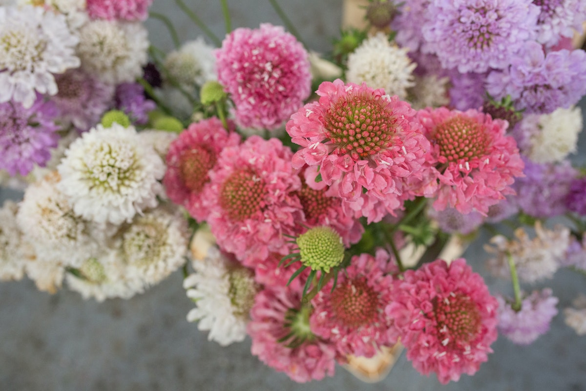 New Covent Garden Flower Market August 2017 Flower Market Report Rona Wheeldon Flowerona British Scabiosa Atropurpurea At Zest Flowers 6