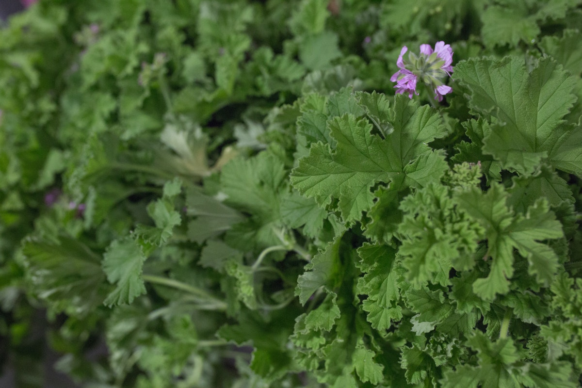 New Covent Garden Flower Market August 2017 Flower Market Report Rona Wheeldon Flowerona British Scented Geranium At Porters Foliage 21