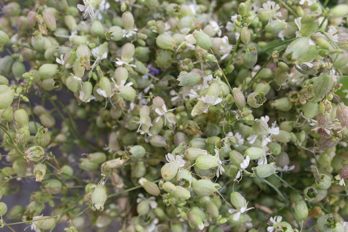 New Covent Garden Flower Market August 2017 Flower Market Report Rona Wheeldon Flowerona British Silene Vulgaris Also Known As Bladder Campion At Zest Flowers 7
