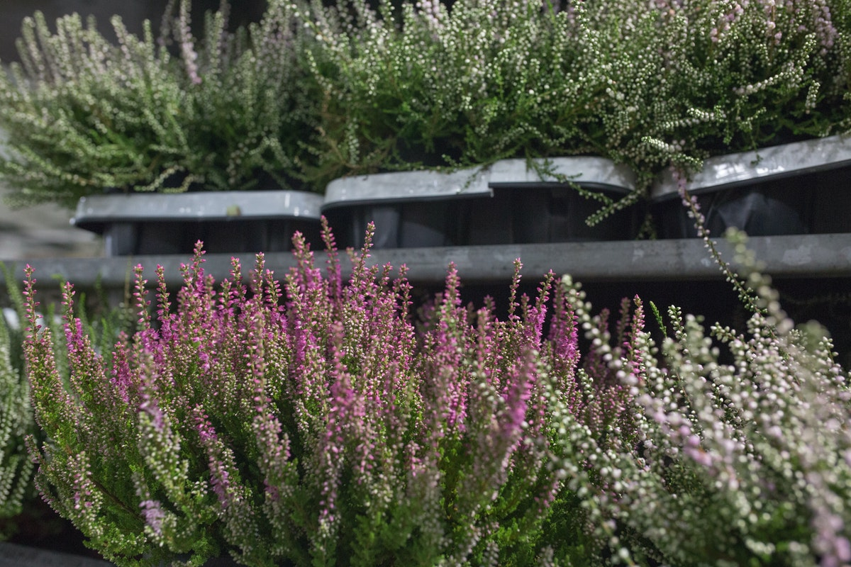 New Covent Garden Flower Market August 2017 Flower Market Report Rona Wheeldon Flowerona Calluna Plants At Evergreen 25