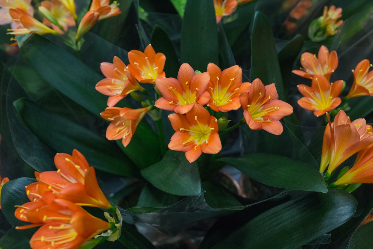 New Covent Garden Flower Market August 2017 Flower Market Report Rona Wheeldon Flowerona Clivia Plants At Quality Plants 29