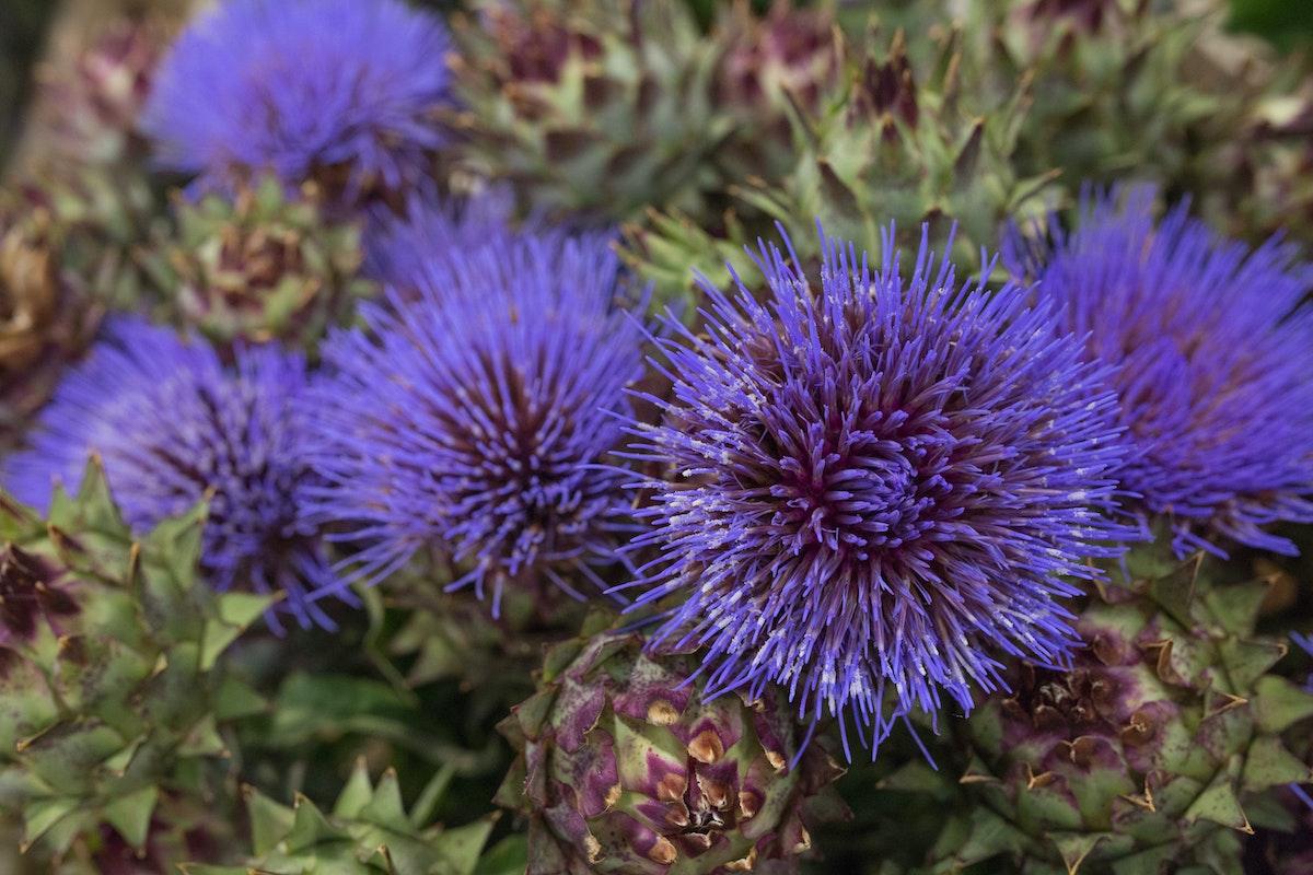 New Covent Garden Flower Market August 2017 Flower Market Report Rona Wheeldon Flowerona Cynara Cardunculus Globe Artichokes At Bloomfield 16