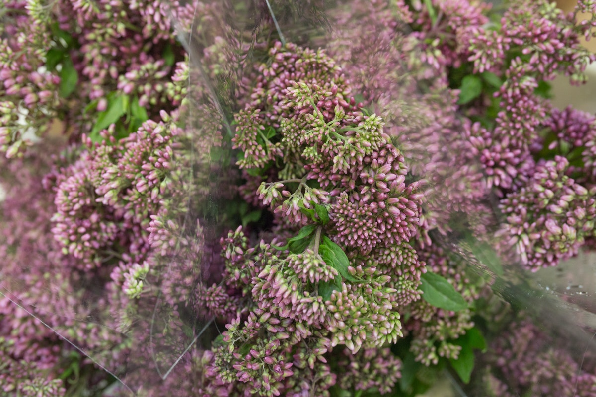 New Covent Garden Flower Market August 2017 Flower Market Report Rona Wheeldon Flowerona Eupatorium Cannabinum Plenum At Zest Flowers 14