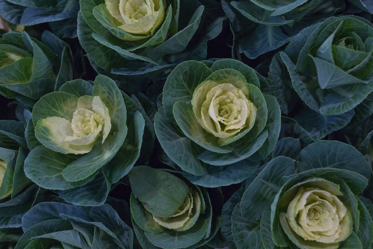 New Covent Garden Flower Market August 2017 Flower Market Report Rona Wheeldon Flowerona Green Cabbages Brassica At Zest Flowers 12
