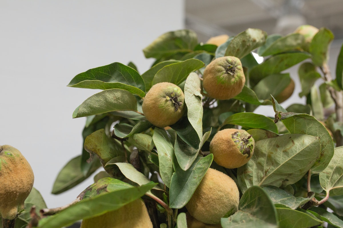 New Covent Garden Flower Market August 2017 Flower Market Report Rona Wheeldon Flowerona Kweepeer Quince At Dennis Edwards Flowers 11