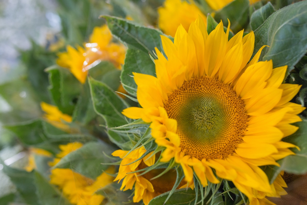 New Covent Garden Flower Market August 2017 Flower Market Report Rona Wheeldon Flowerona Sunflower Helianthus Annuus Ôçÿ Vincentôçös Freshôçö At Dg Wholesale Flowers 8