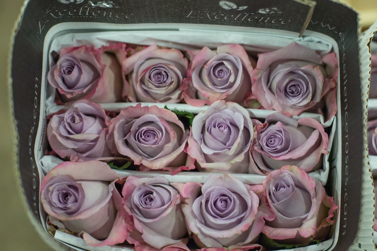 New Covent Garden Flower Market February 2017 Market Report Flowerona High Res Ocean Song Roses At Dennis Edwards Flowers