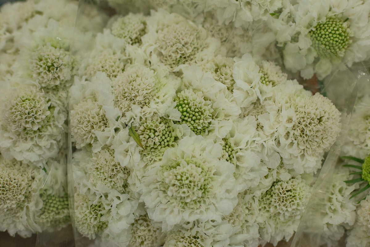 New Covent Garden Flower Market February 2017 Market Report Flowerona High Res Scabiosa Vanilla Scoop At Dg Wholesale Flowers