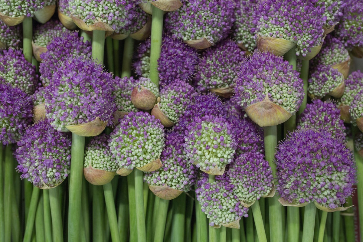New Covent Garden Flower Market Flower Market Report June 2017 Rona Wheeldon Flowerona British Drumstick Alliums At Pratley