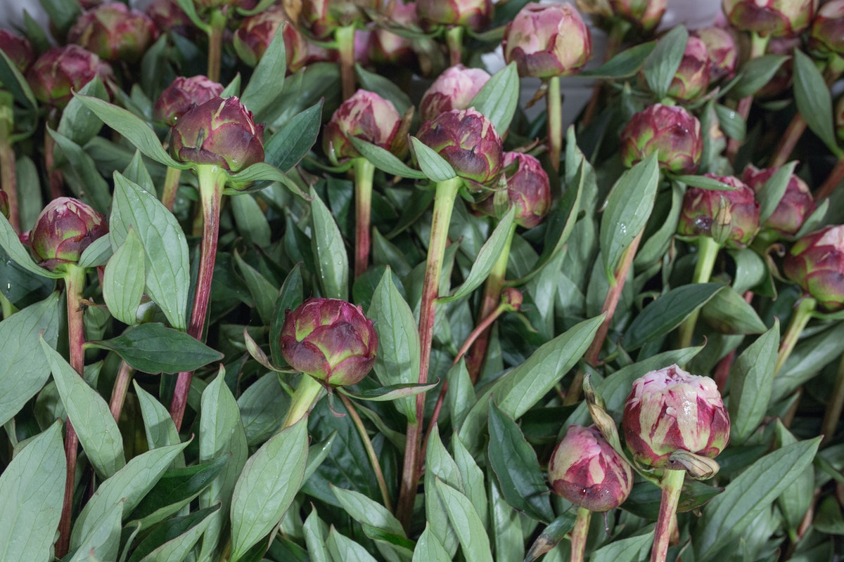New Covent Garden Flower Market Flower Market Report June 2017 Rona Wheeldon Flowerona British Peonies At Pratley
