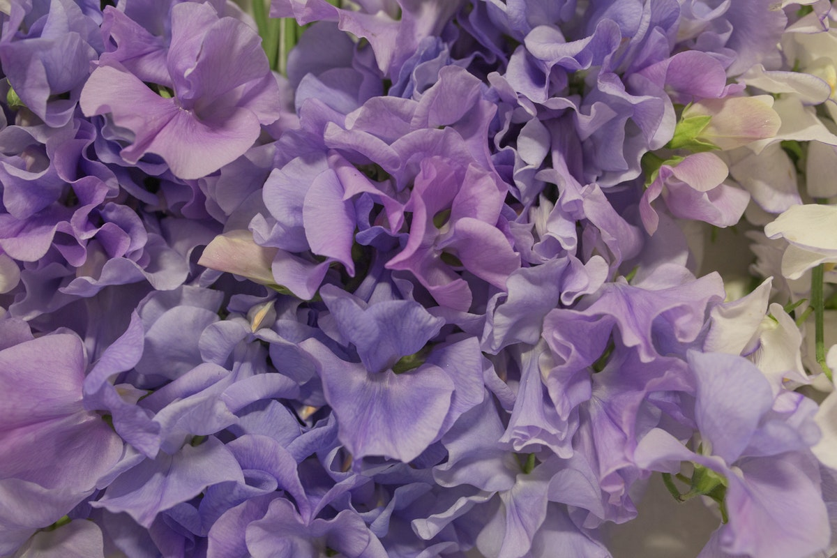 New Covent Garden Flower Market Flower Market Report June 2017 Rona Wheeldon Flowerona British Sweet Peas At Pratley