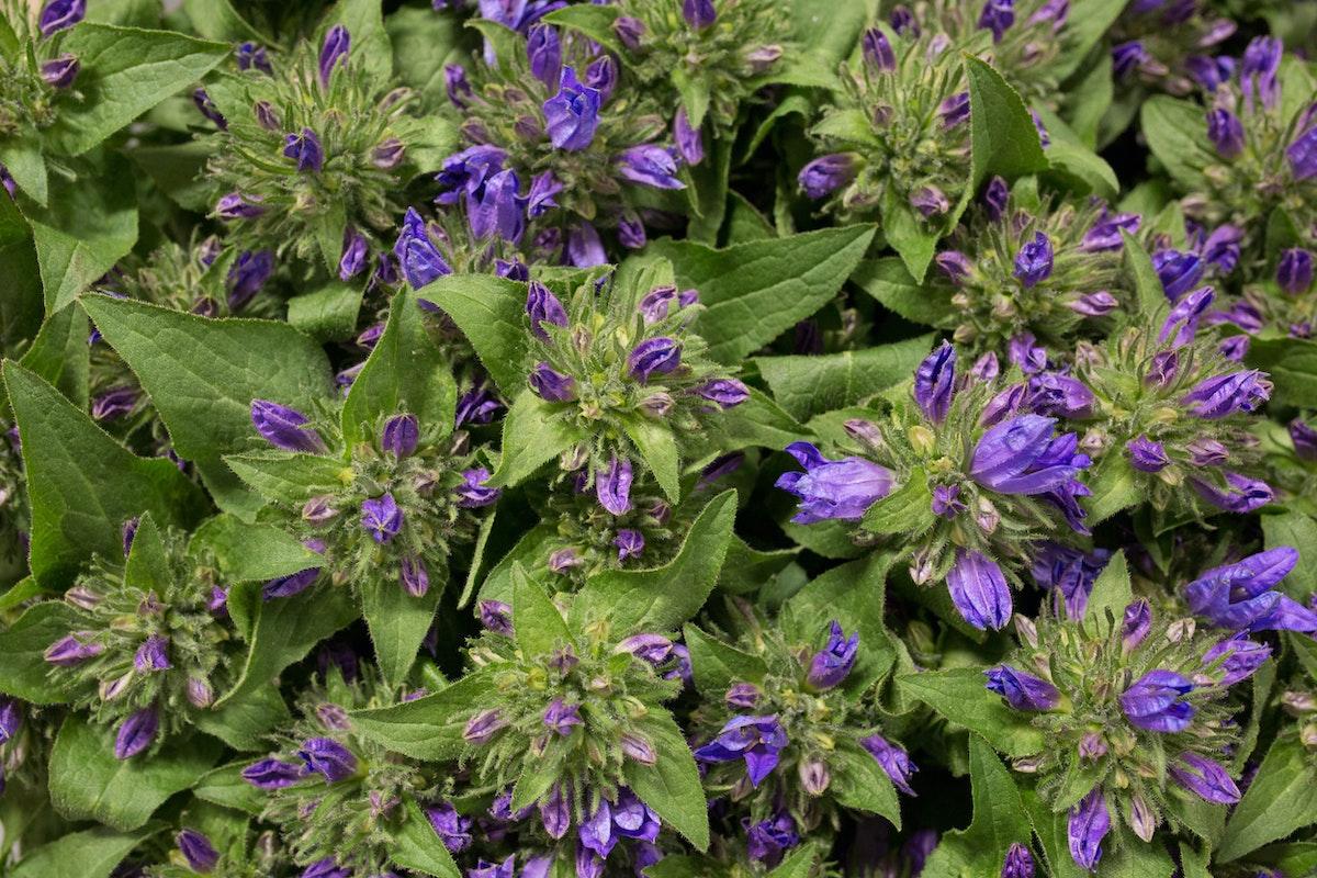 New Covent Garden Flower Market Flower Market Report June 2017 Rona Wheeldon Flowerona Campanula Glomerata Ôçÿ Genti Blueôçö At Dennis Edwards