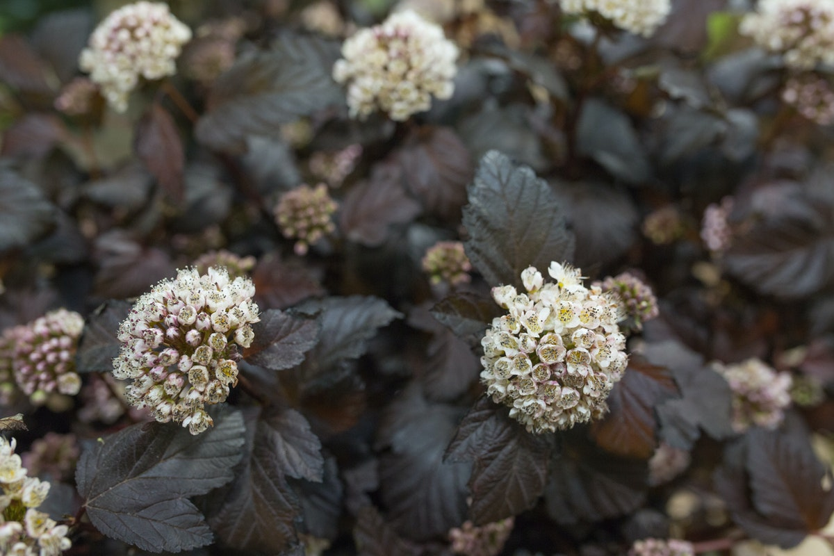 New Covent Garden Flower Market Flower Market Report June 2017 Rona Wheeldon Flowerona Physocarpus Opulifolius Diablo At Bloomfield