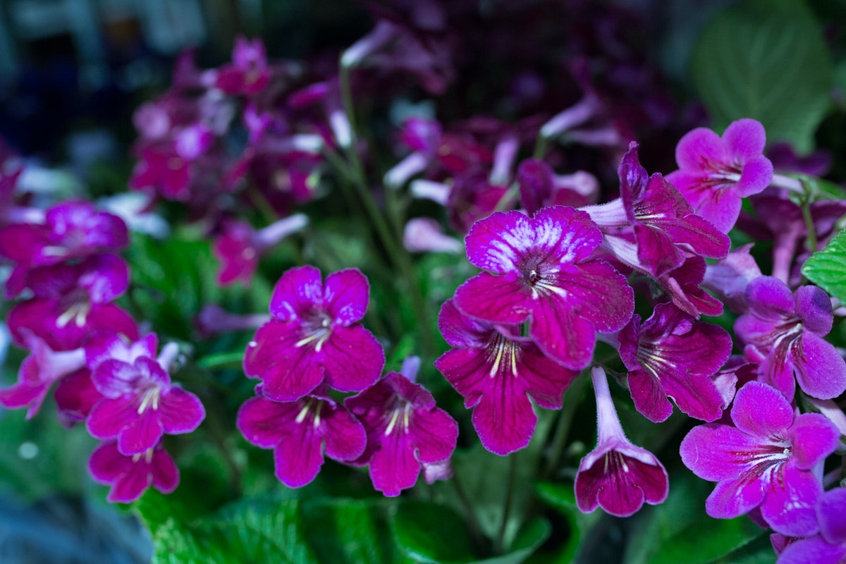 New Covent Garden Flower Market Flower Market Report June 2017 Rona Wheeldon Flowerona Streptocarpus Plants At Arnott Mason