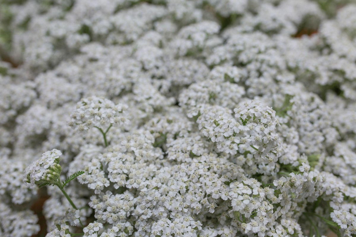 New Covent Garden Flower Market July 2017 Flower Market Report Rona Wheeldon Flowerona Achillea Millefolium White Beauty At Bloomfield