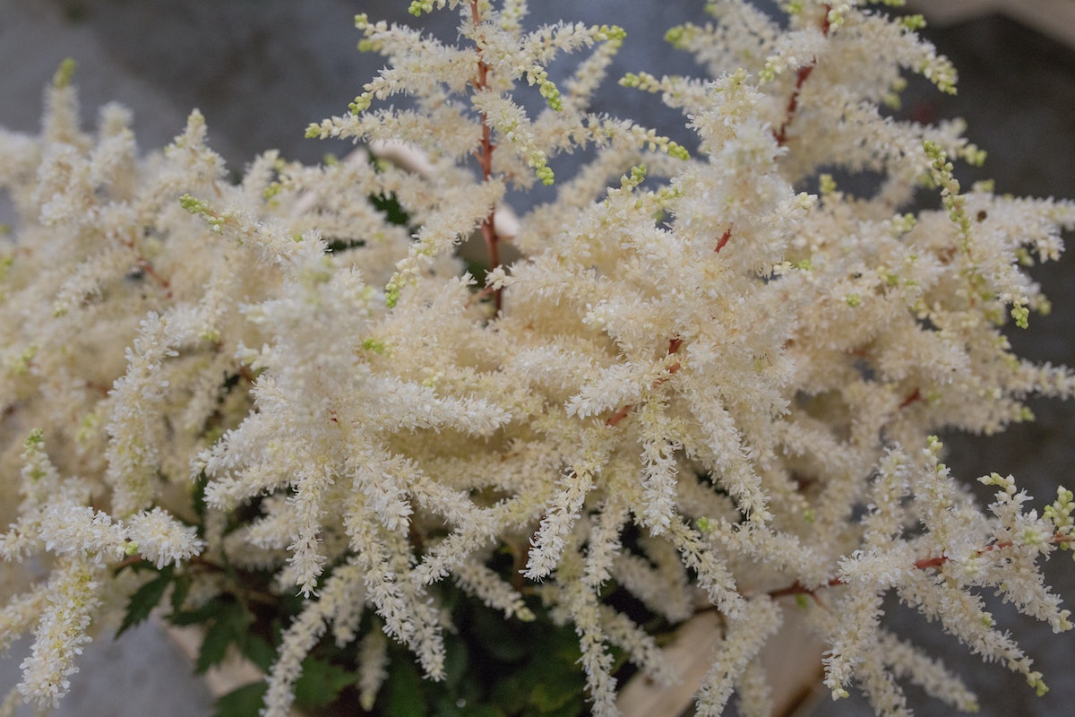 New Covent Garden Flower Market July 2017 Flower Market Report Rona Wheeldon Flowerona British Astilbe At Zest Flowers