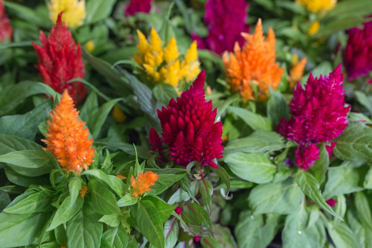 New Covent Garden Flower Market July 2017 Flower Market Report Rona Wheeldon Flowerona British Celosia Plumosa Plants At L Mills