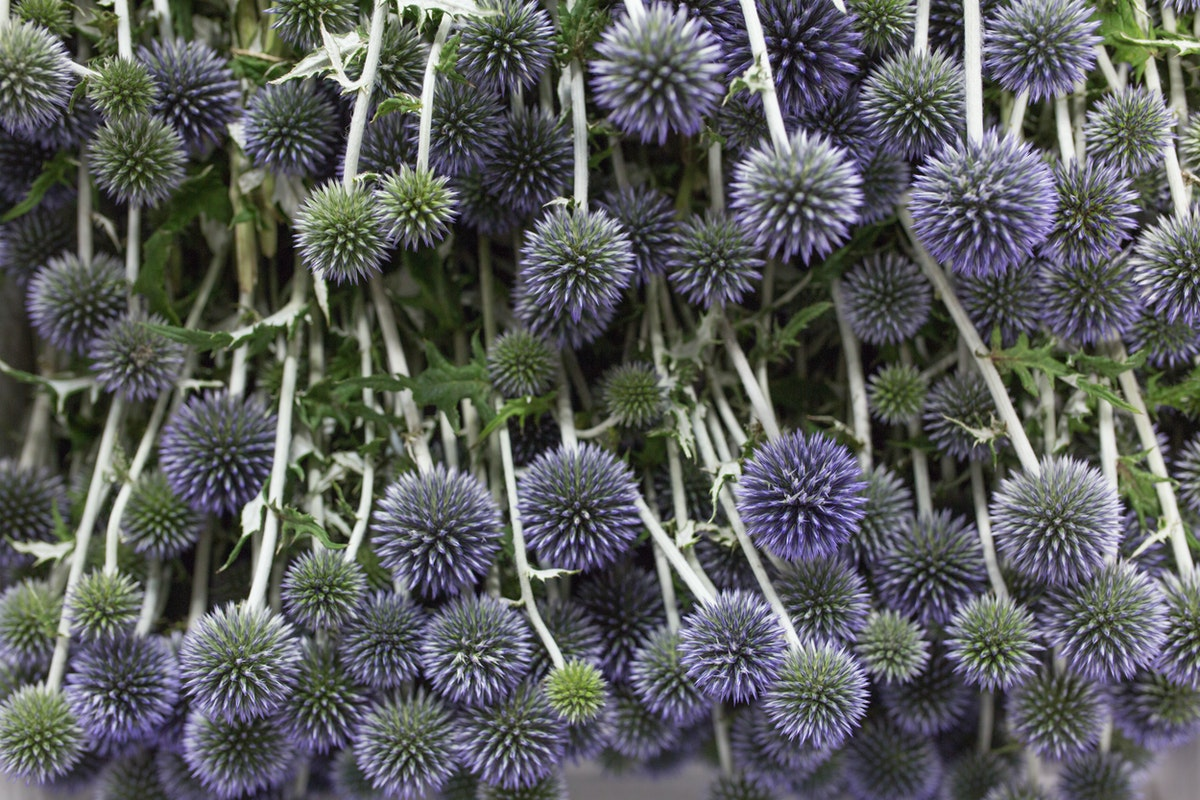 New Covent Garden Flower Market July 2017 Flower Market Report Rona Wheeldon Flowerona British Echinops At Pratley