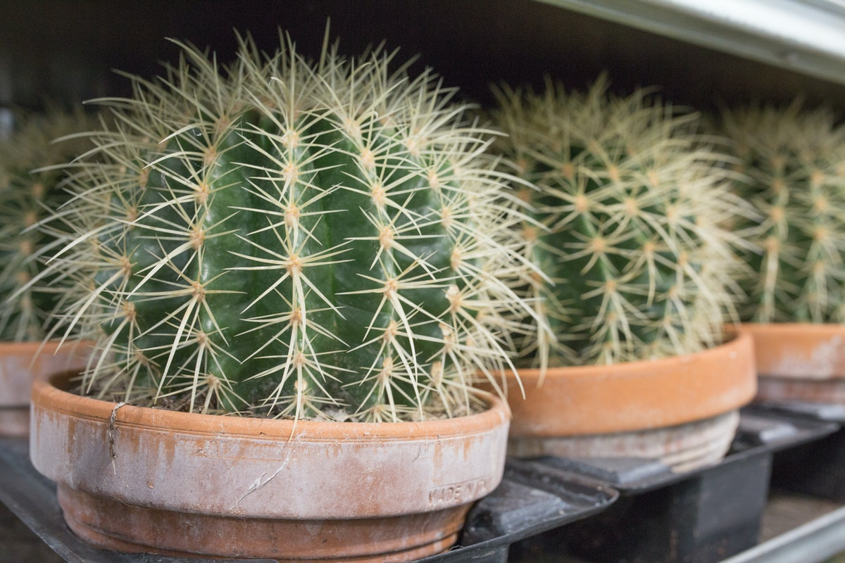 New Covent Garden Flower Market July 2017 Flower Market Report Rona Wheeldon Flowerona Echinocactus Grusonii Also Known As Mother In Laws Cushion At Quality Plants