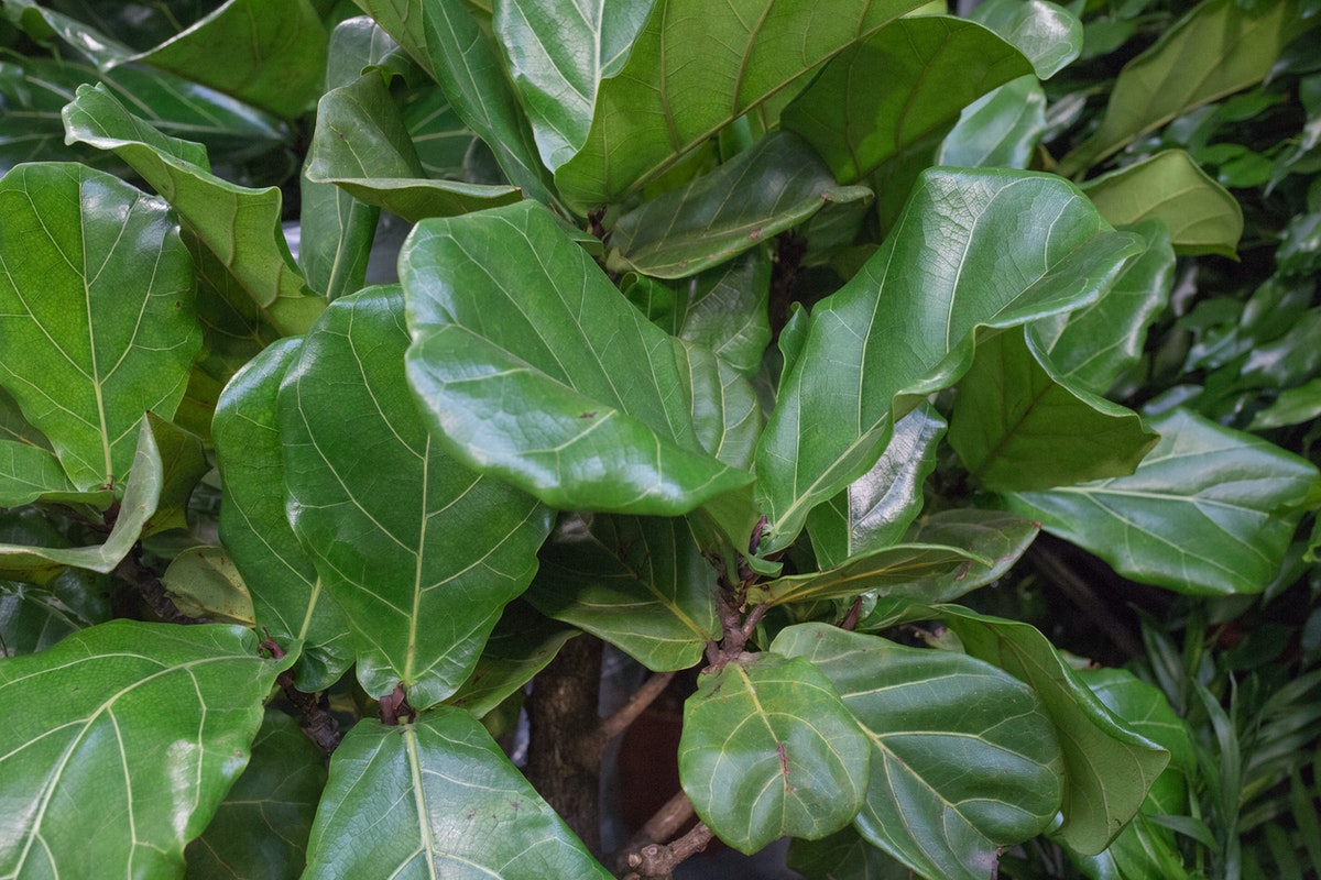 New Covent Garden Flower Market July 2017 Flower Market Report Rona Wheeldon Flowerona Fiddle Leaf Fig Or Ficus Lyrata At Arnott Mason