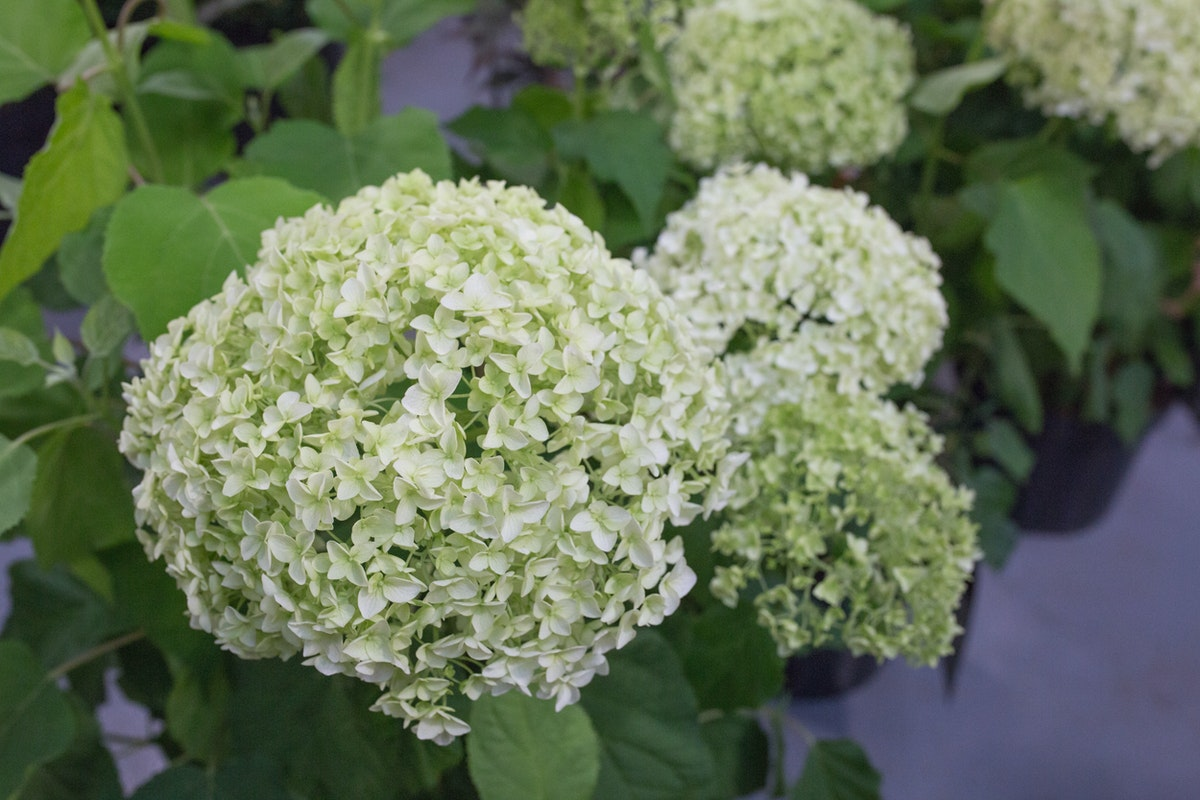 New Covent Garden Flower Market July 2017 Flower Market Report Rona Wheeldon Flowerona Hydrangea Arborescens Annabelle At Quality Plants