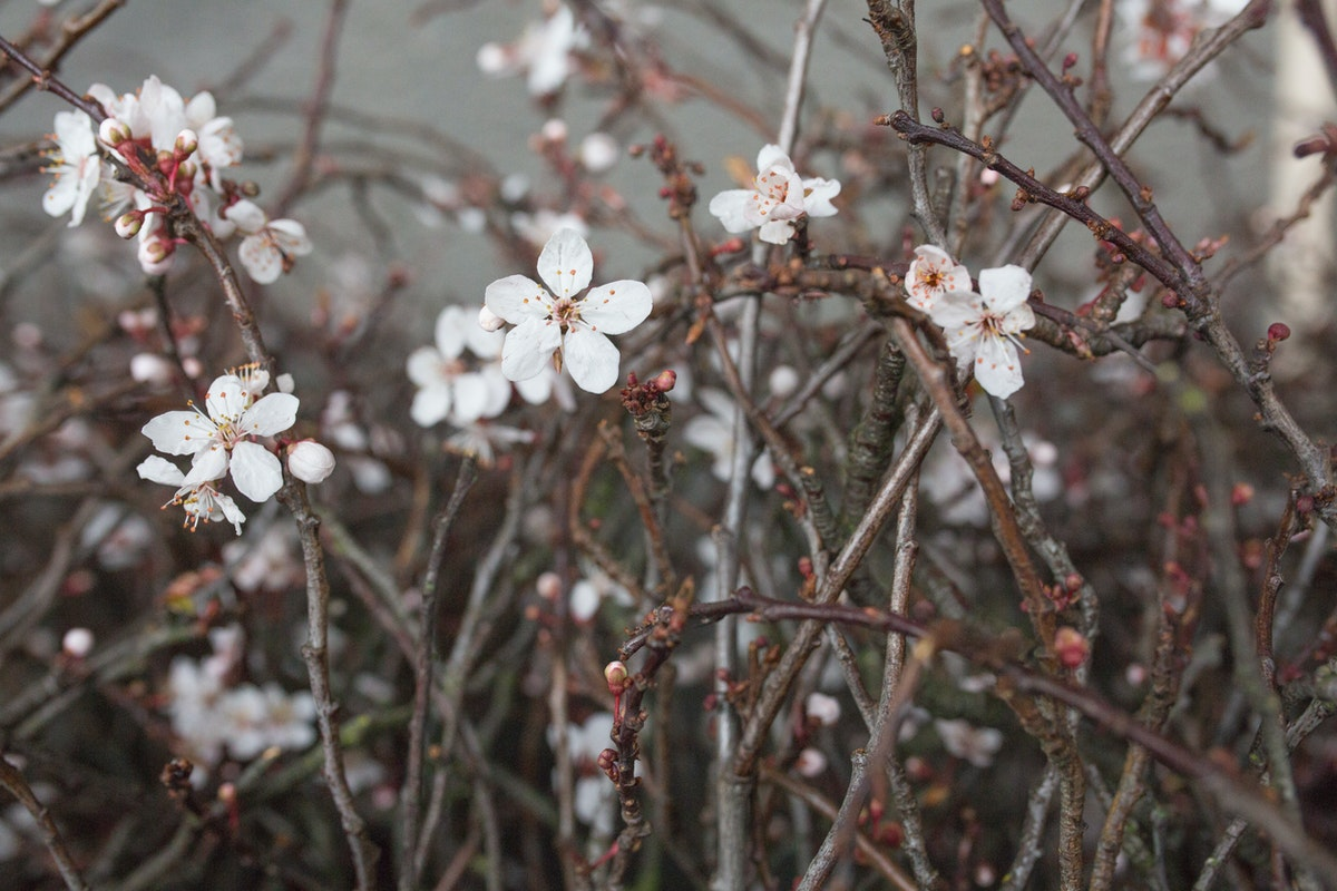 New Covent Garden Flower Market March 2017 Market Report Rona Wheeldon Flowerona British Single White Cherry Blossom At Porters Foliage