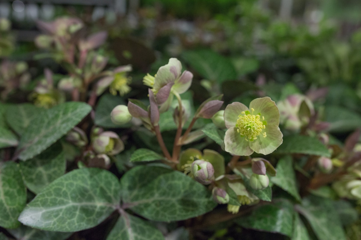 New Covent Garden Flower Market March 2017 Market Report Rona Wheeldon Flowerona Helleborus Lividus Plants At Evergreen