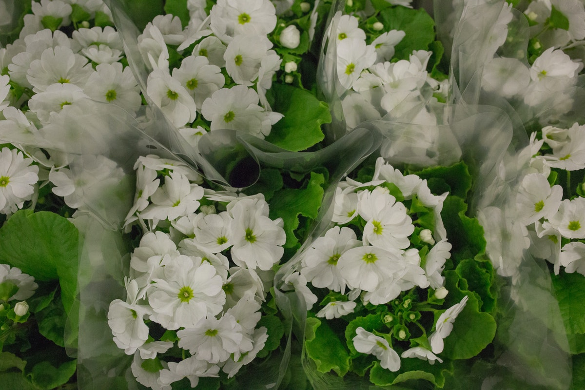 New Covent Garden Flower Market March 2017 Market Report Rona Wheeldon Flowerona Primula Obconica Plants At Evergreen