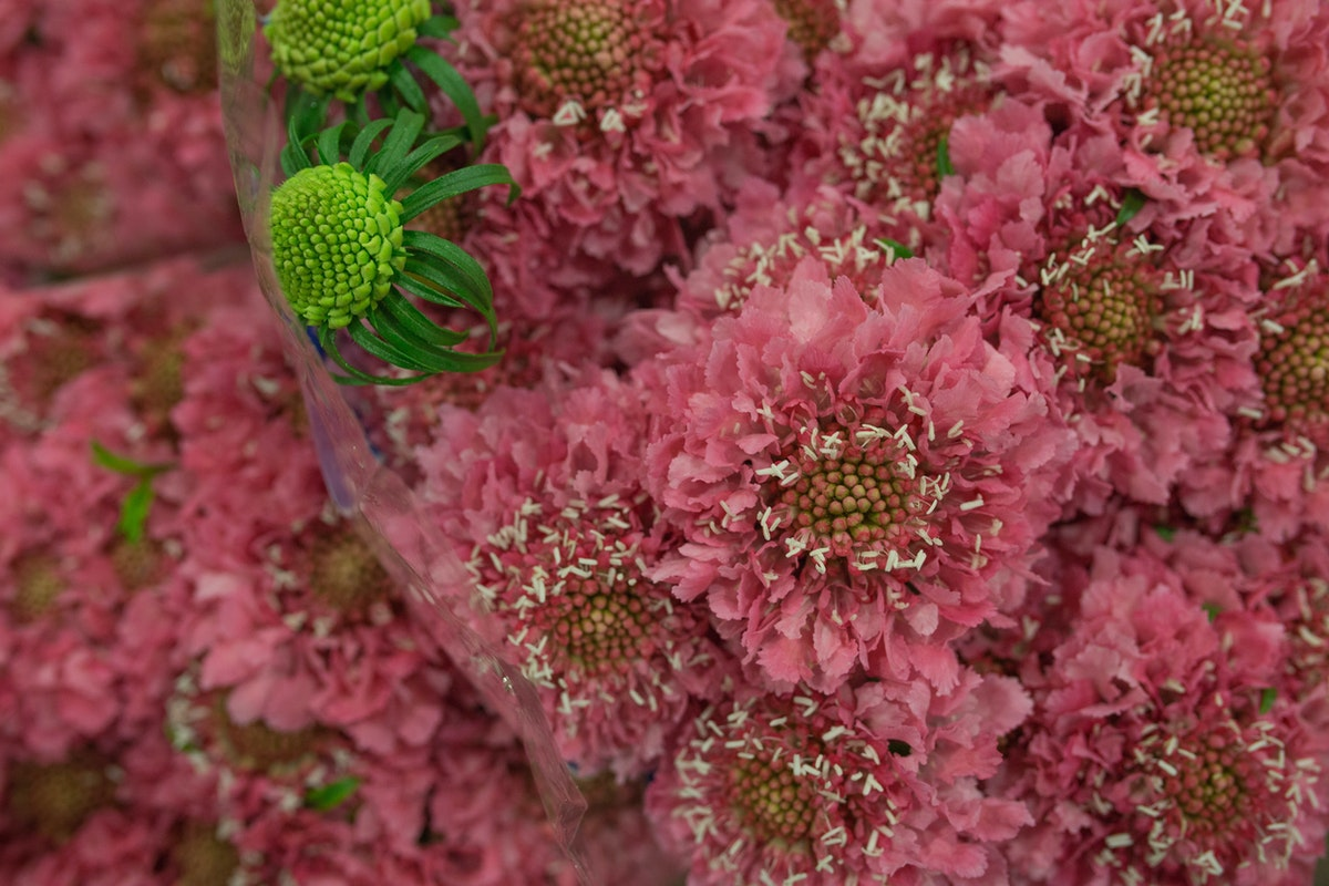 New Covent Garden Flower Market March 2017 Market Report Rona Wheeldon Flowerona Scabiosa Atropurpurea Candy Scoop At Zest Flowers