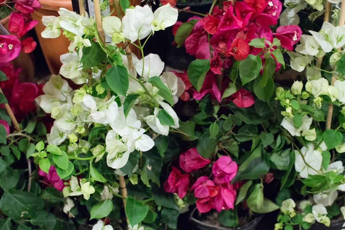 New Covent Garden Flower Market May 2016 Market Report Flowerona Hr 26