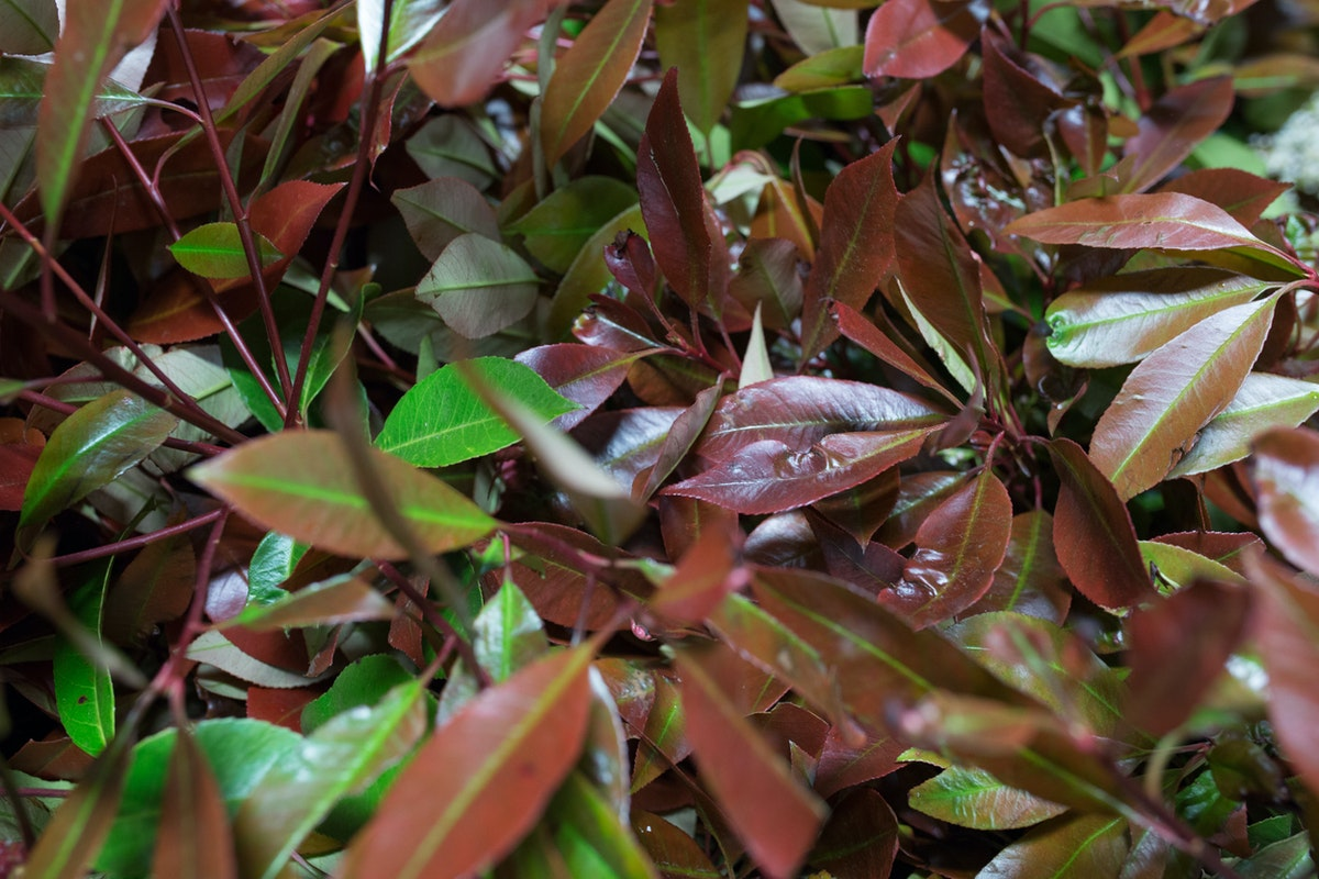 New Covent Garden Flower Market May 2017 Flower Market Report Rona Wheeldon Flowerona British Photinia At Gb Foliage