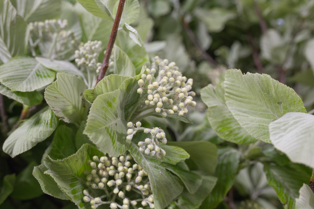 New Covent Garden Flower Market May 2017 Flower Market Report Rona Wheeldon Flowerona British White Leaf Sorbus At Gb Foliage