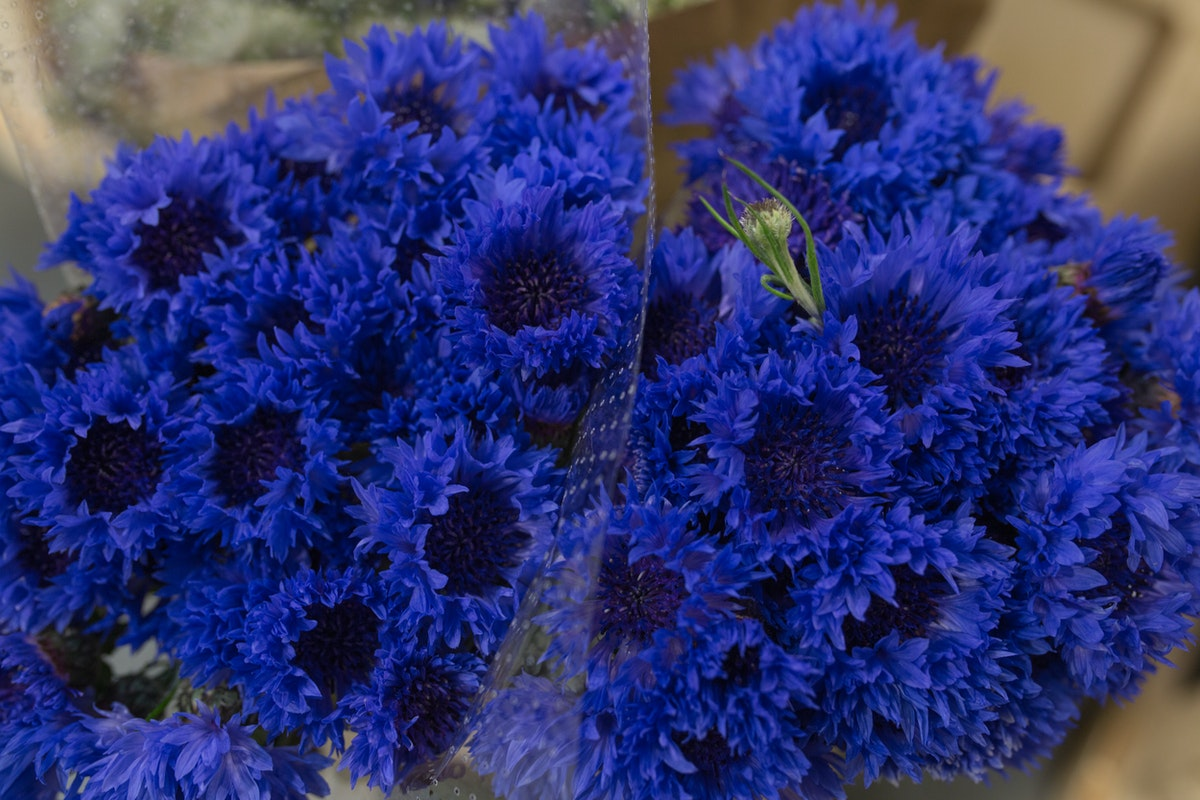 New Covent Garden Flower Market May 2017 Flower Market Report Rona Wheeldon Flowerona Cornflowers Centaurea Cyanus At Dennis Edwards