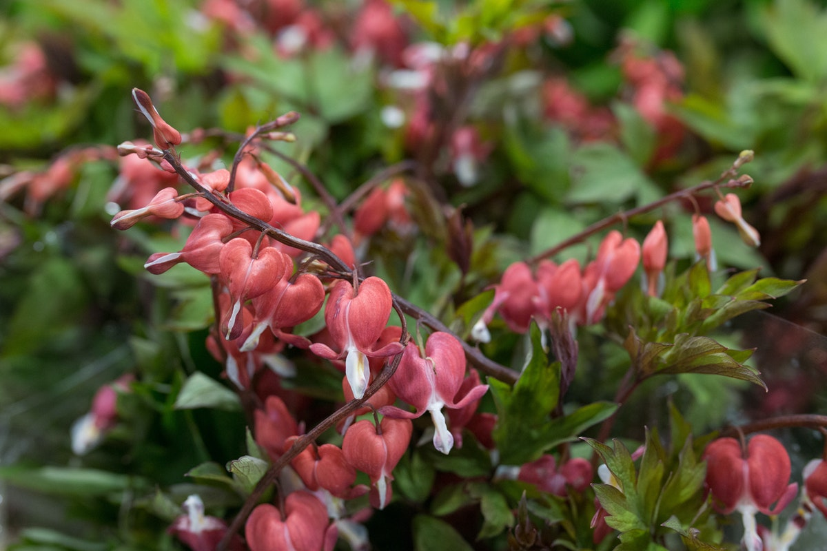 New Covent Garden Flower Market May 2017 Flower Market Report Rona Wheeldon Flowerona Dicentra Spectabilis Valentine At Bloomfield
