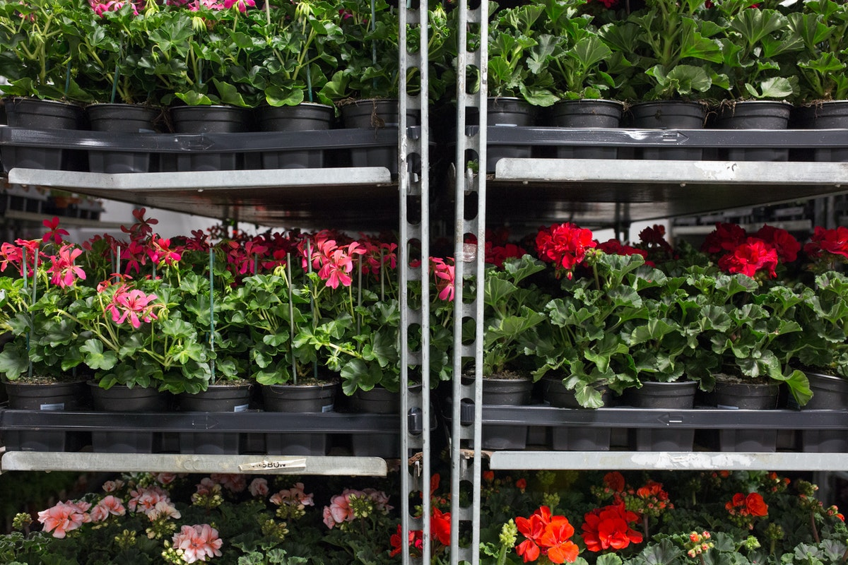 New Covent Garden Flower Market May 2017 Flower Market Report Rona Wheeldon Flowerona Geranium Plants At Evergreen