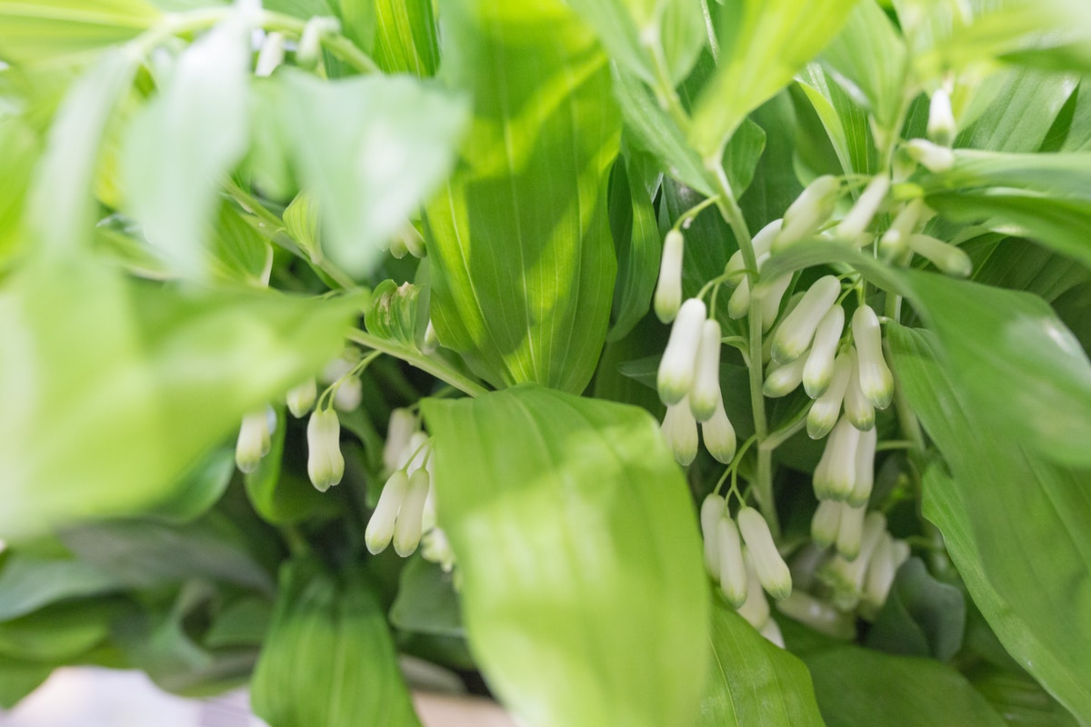 New Covent Garden Flower Market May 2017 Flower Market Report Rona Wheeldon Flowerona Solomonôçös Seal Polygonatum Odoratum At Bloomfield