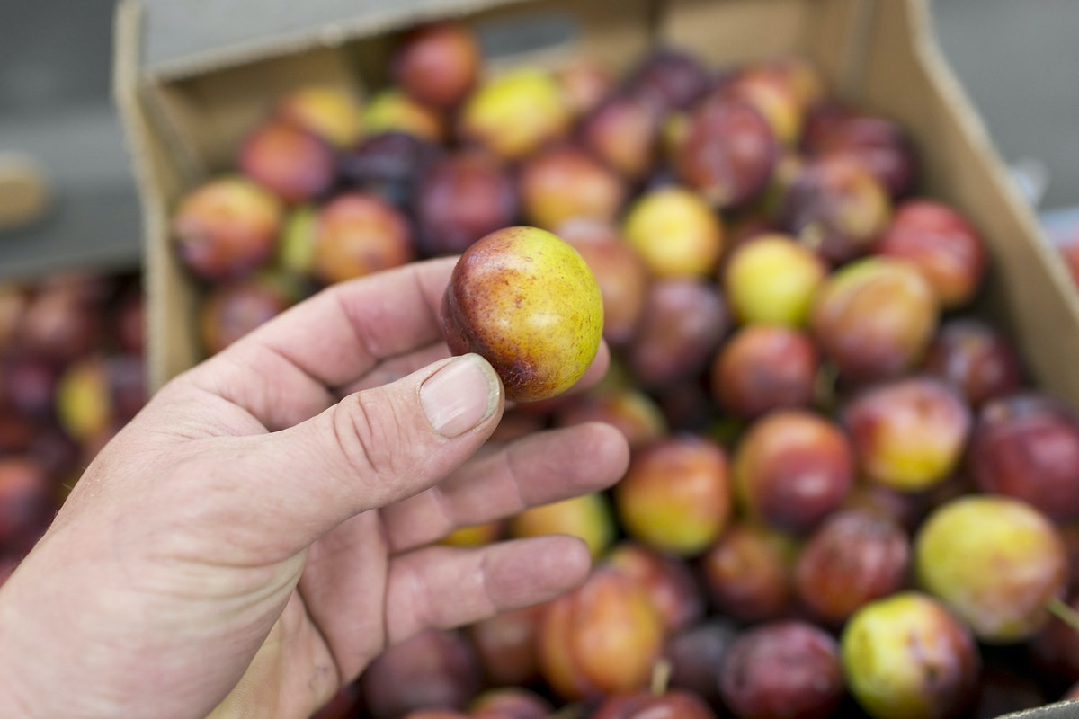Fruit And Vegetable Market Report August 2015 Plums