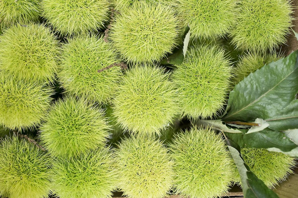 Fruit And Vegetable Market Report September 2015 Chestnuts