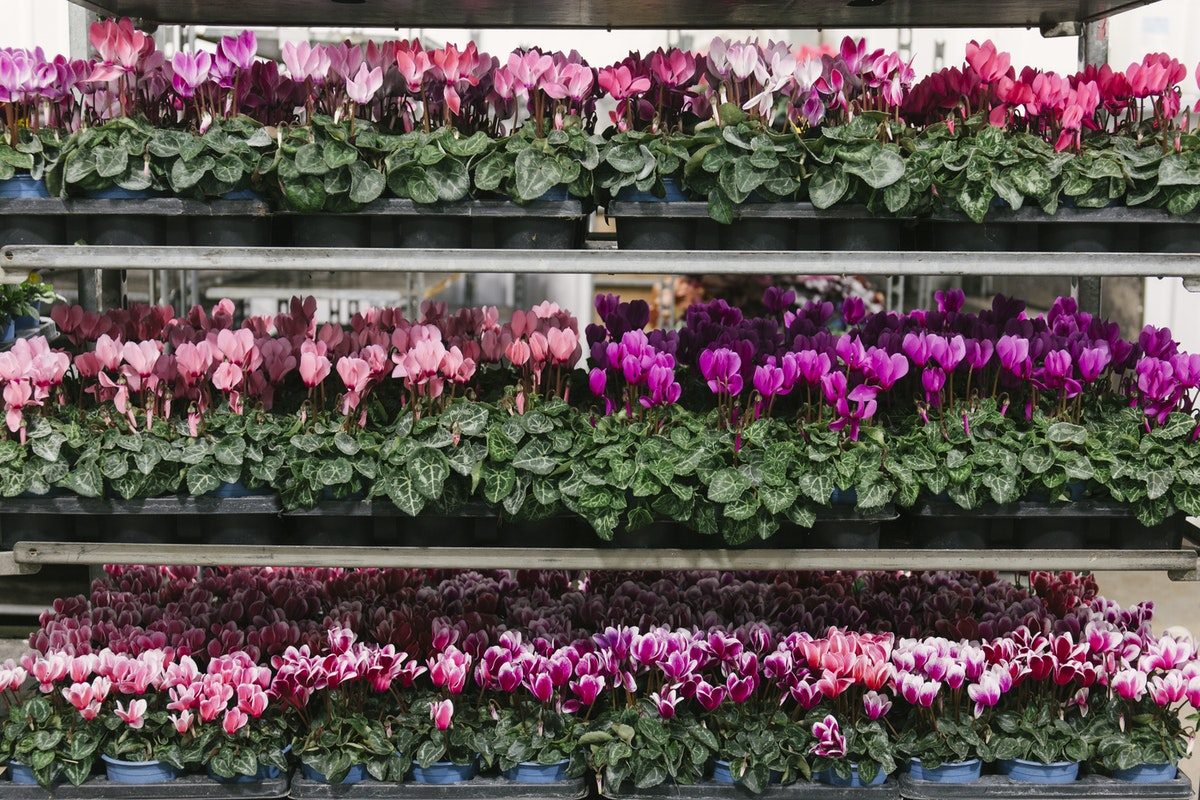 New Covent Garden Flower Market A Florists Guide To Christmas At The Flower Market Rona Wheeldon Flowerona November 2019 British Cyclamen Plants At L Mills