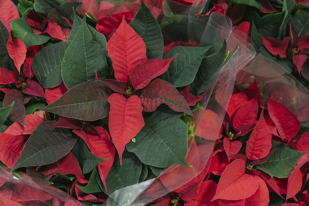 New Covent Garden Flower Market A Florists Guide To Christmas At The Flower Market Rona Wheeldon Flowerona November 2019 Red Poinsettia Plants At Quality Plants