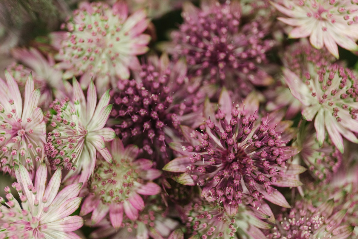 New Covent Garden Flower Market April 2018 A Florists Guide To Astrantia Roma Rona Wheeldon Flowerona 1