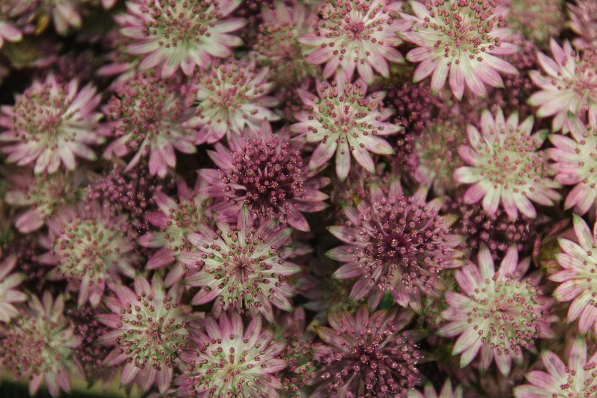 New Covent Garden Flower Market April 2018 A Florists Guide To Astrantia Rona Wheeldon Flowerona Astrantia Major Roma
