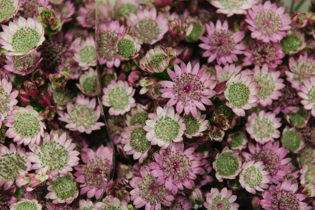 New Covent Garden Flower Market April 2018 A Florists Guide To Astrantia Rona Wheeldon Flowerona Astrantia Major Star Of Promise At Bloomfield